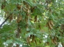 புளிய மரங்கள் சாலை ஓரத்தில் வளர்வதன் பிண்ணனி தெரியுமா உங்களுக்கு?