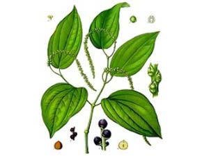 25 Medicinal Uses Piperaceae Herbal Aid0090
