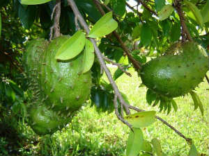 Benefits Soursop Cancer