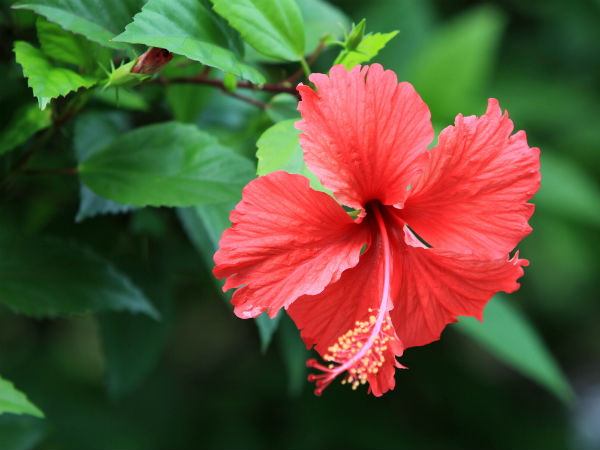 Hibiscus mask solution for dandruff
