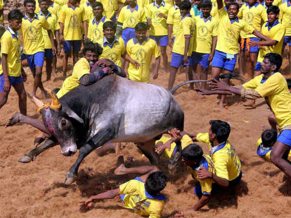 Jallikattu : Wisdom Interpretation
