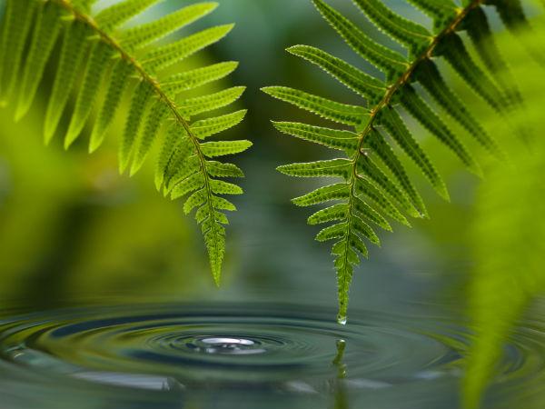 பன்னம் தாவரம் (பெர்ன்):