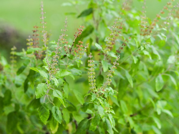 Why Indians Praying tulsi scientific Reasons