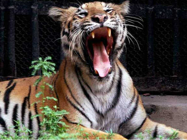 essay about tiger in tamil
