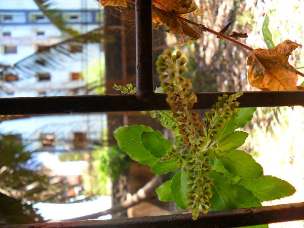 How to use Tulsi in winter season