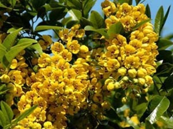 Health Benefits of tanner cassia