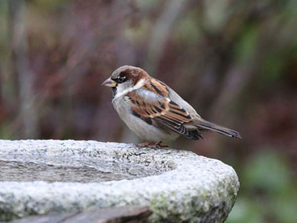 Declination of population of Sparrows in the worldwide