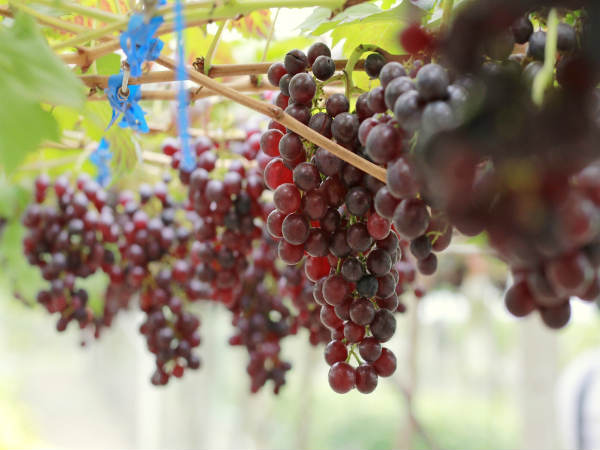 Reasons why grapes gives a better way to keep healthy.