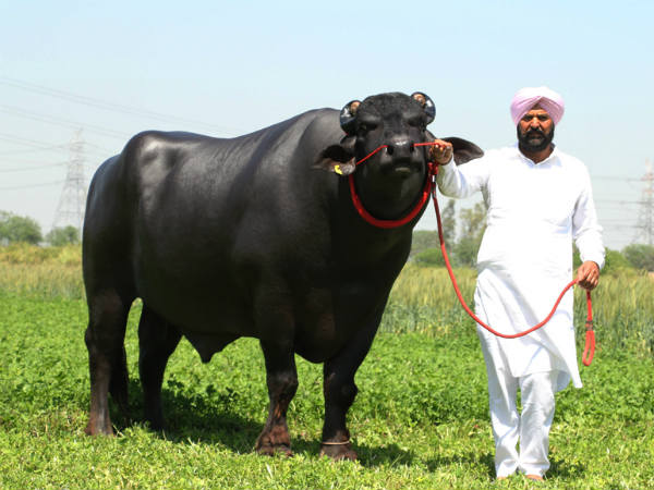 Sultan The Bull, Unique Kind of Bull in the World. It semen only Earns One Crore Per year.