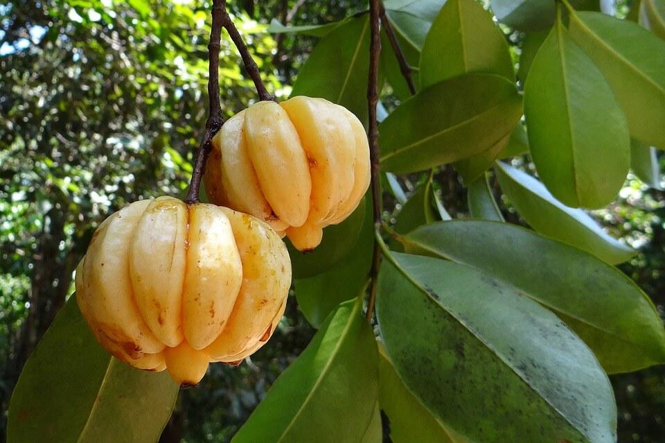 Medicinal properties and benefits of Garcinia Cambogia.