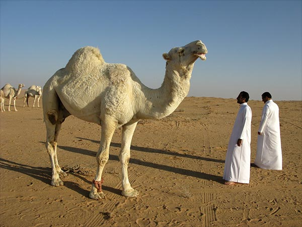 Camel Milk helps to cure impotence and its other health benefits
