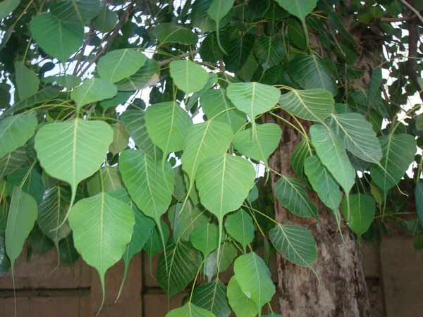 How to use peepal tree leaves and fruits to increase sperm count