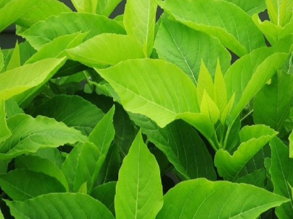 A green leafy vegetable called Pisonia grandis, improves kidney function