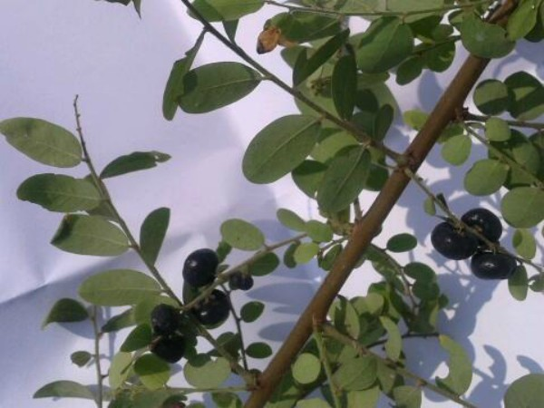 How to use blackberry fruits to turn grey hair into black
