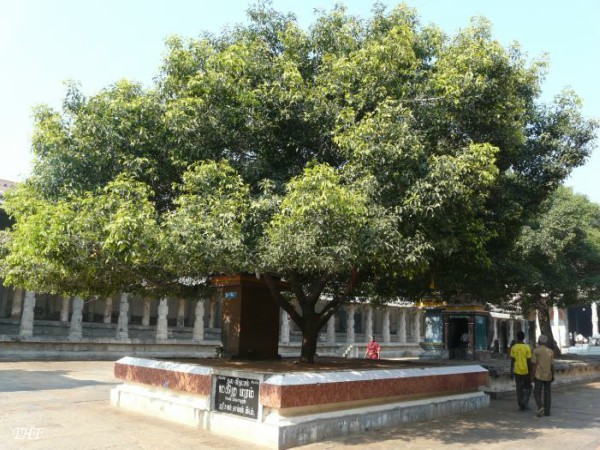 Health benefits of Mahilam tree and its parts