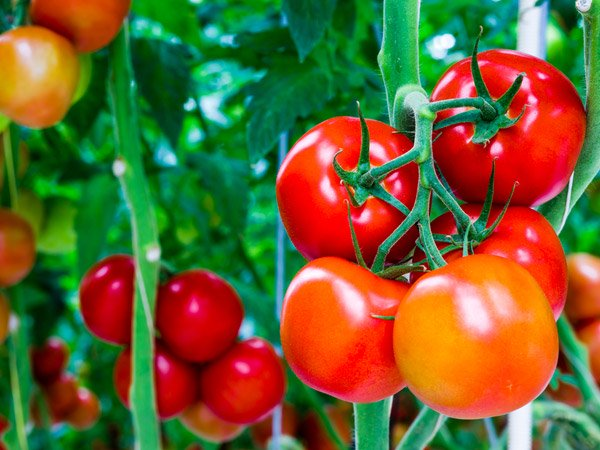 is tomato a fruit or veggie - botanical classification