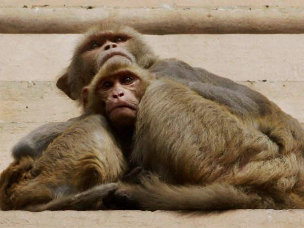 திடீர்னு பரவும் குரங்கு காய்ச்சல் எனும் காட்டுநோய்... இந்த அறிகுறி வந்தா ஜாக்கிரதையா இருங்க