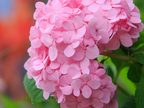 Hydrangea Facts And Health Benefits