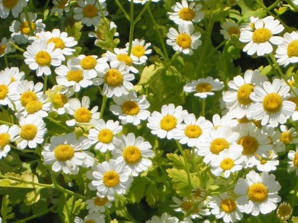 Feverfew, An Ordinary Garden Plant That Has Anti-Cancer Compound, Kills Leukaemia Cells: Scientists