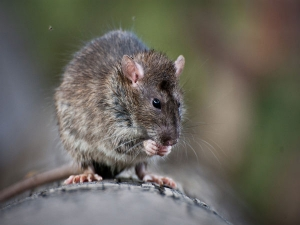 Ways Keep Mice Away From Your Garden