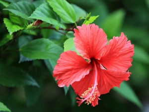 Ways Use Hibiscus Leaves Hair Tamil