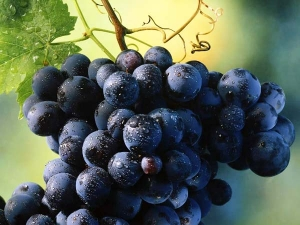 Consuming Grapes Leads Reduce Body Fat