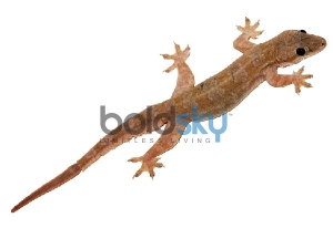 Lizard Falling On Body Parts Gauli Shastra Prediction Based On Lizards
