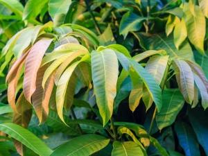 Three Amazing Benefits Mango Leaves Diabetics