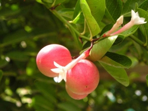 Amazing Health Benefits Carandas