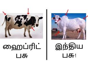 The Dark Secret Between Jallikattu Ban A1 A2 Milk Difference
