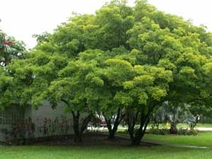 Medicinal Benefits Indian Beech Tree Aid