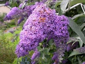 Medicinal Benefits Butterfly Bush Aid