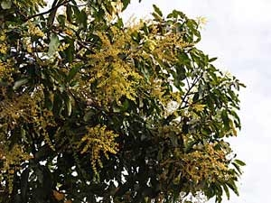 Medicinal Benefits Mango Flower Aid