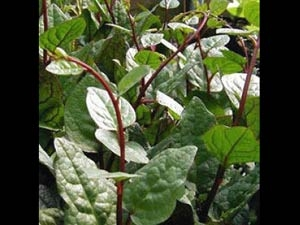 Health Benefits Red Stemmed Spinach Aid