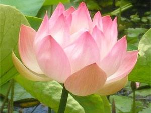 Health Benefits Lotus Flower Aid
