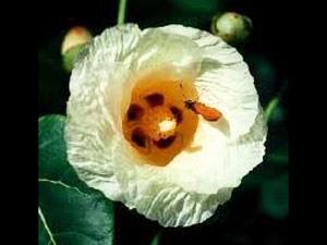 Medicinal Benefits Portia Tree Flower Aid