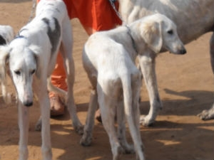 Pet Care Rajapalayam Dog Care Aid