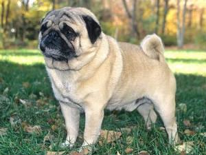 Tips A Healthy Pug Aid