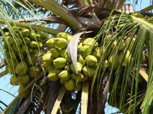 Drink Tender Coconut Live Healthy