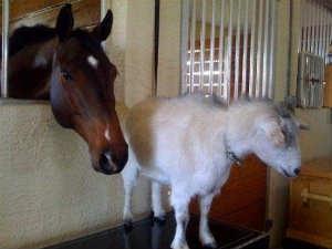 A Horse A Goat