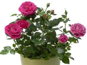 How Care Rose Plants
