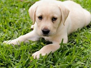 Labrador Health Problems Foods Eat