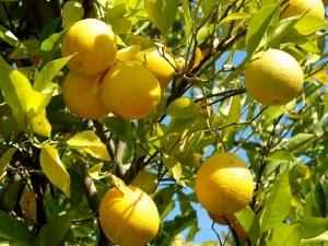 Healing Powers Of Lemons