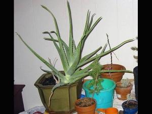 Indoor Plants Which Remove Impurities