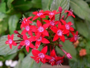 Red Flowers Plant Your Gardens