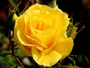 Gardening Of Rose Flower Winter Tips