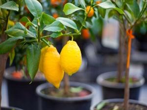 Gardening Citrus Fruit Plants.html