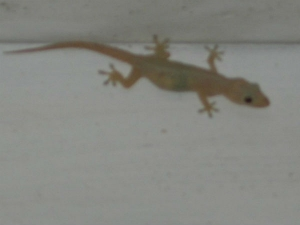 Best Home Remedies To Get Rid Of Lizards