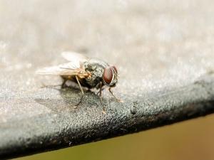 Home Remedies Get Rid Flies