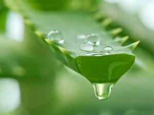 Treat Wrinkled Skin With Aloe Vera
